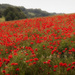 Poppy Panorama by fbailey