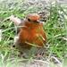 a robin at last