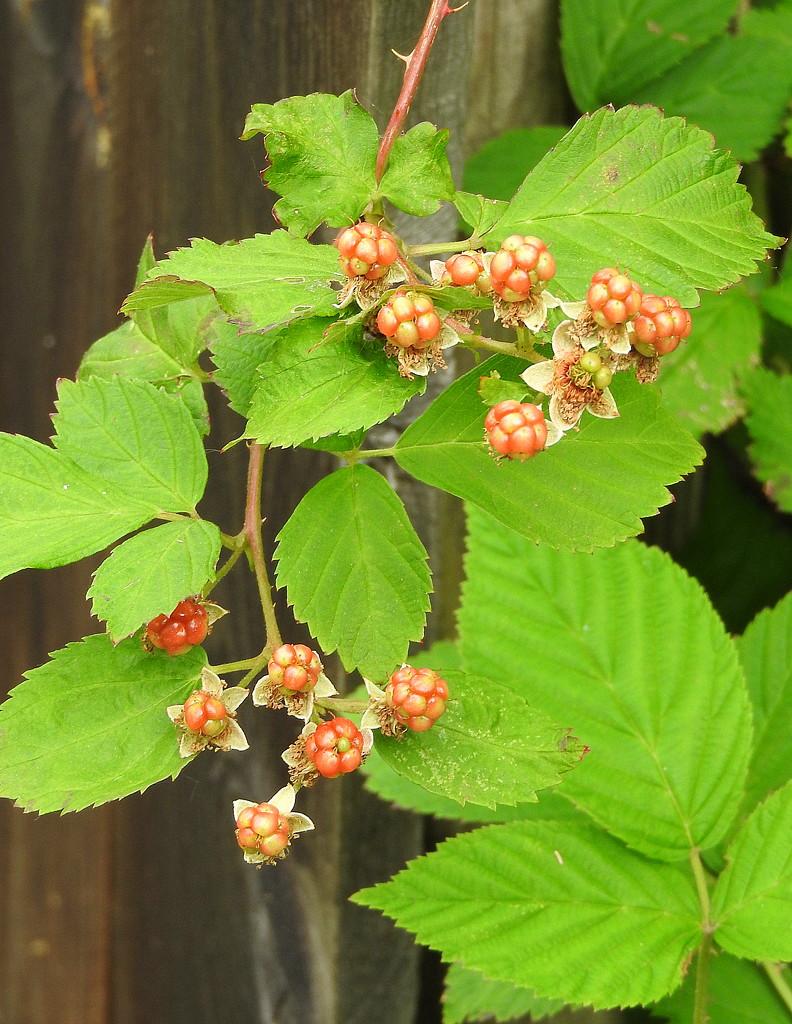 Wild blackberries by homeschoolmom