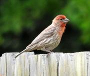 5th Jun 2018 - House Finch