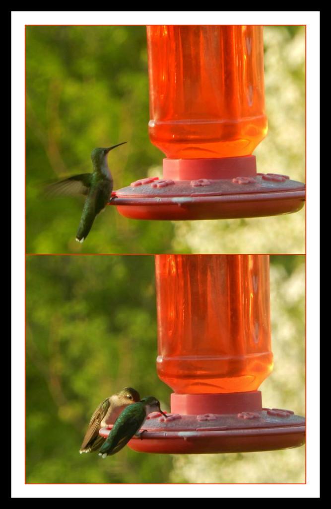 Hummingbird collage by mcsiegle
