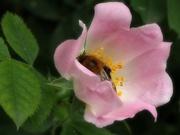 6th Jun 2018 - collecting pollen