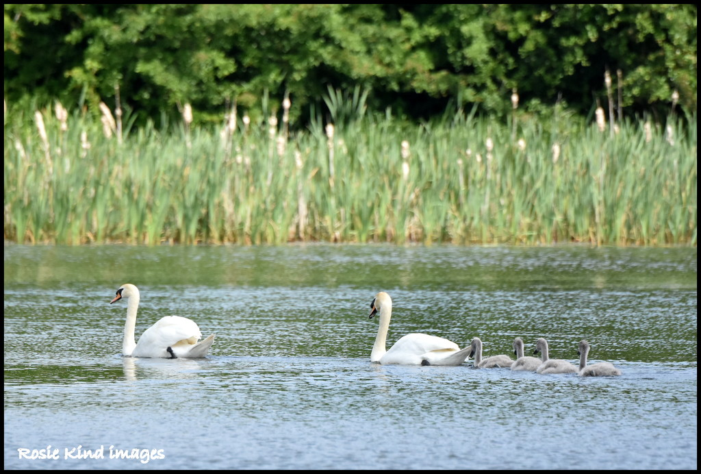 The swan family by rosiekind