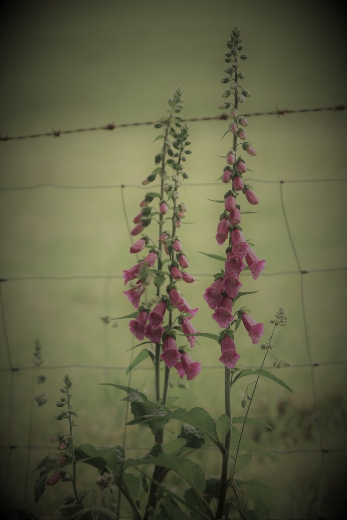 Fence And Foxgloves by motherjane