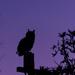 Owl at Sunrise by salza