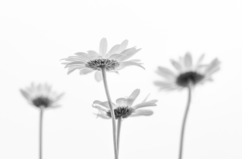 Paimpont 2018: Day 132 - Wild Daisies by vignouse