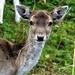 Doe a Deer..... by carole_sandford