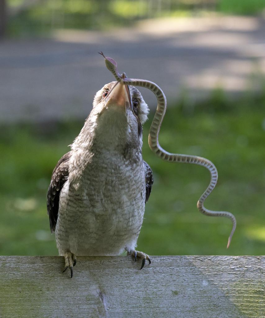 kookaburra  by shepherdmanswife