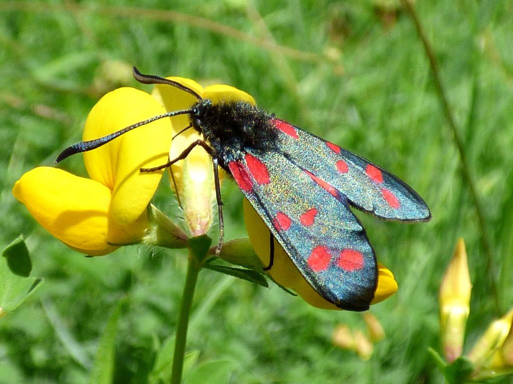 Six-Spot Burnet Moth by julienne1