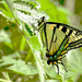 Yellow Swallowtail Butterfly! by fayefaye