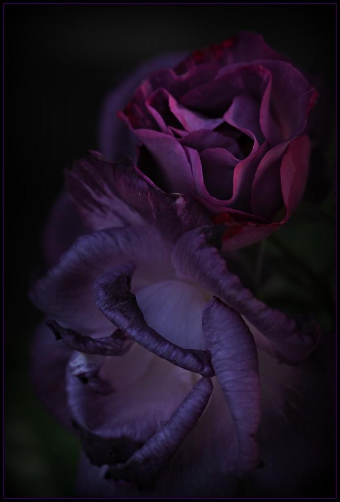English Rose by janemartin