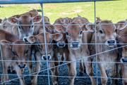 7th Jun 2018 - Hungry Calves