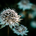 astrantia essence by pistache