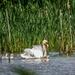 Taking Her Babies For A Swim by carolmw
