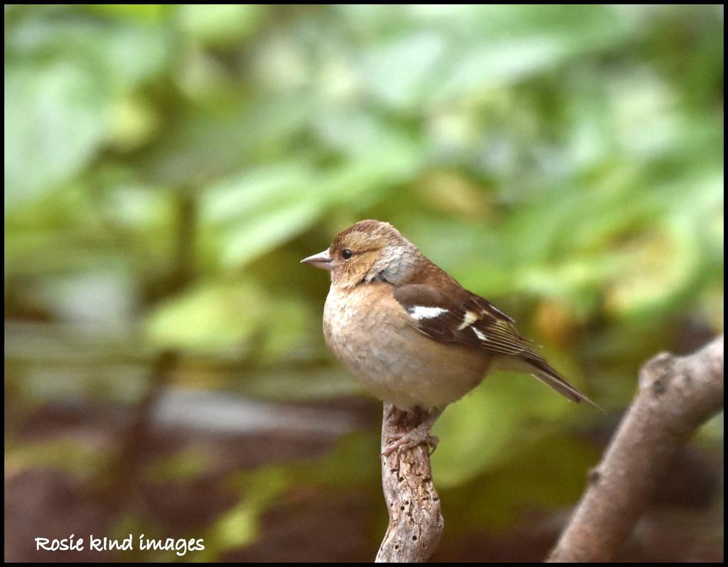 Little chaffinch by rosiekind