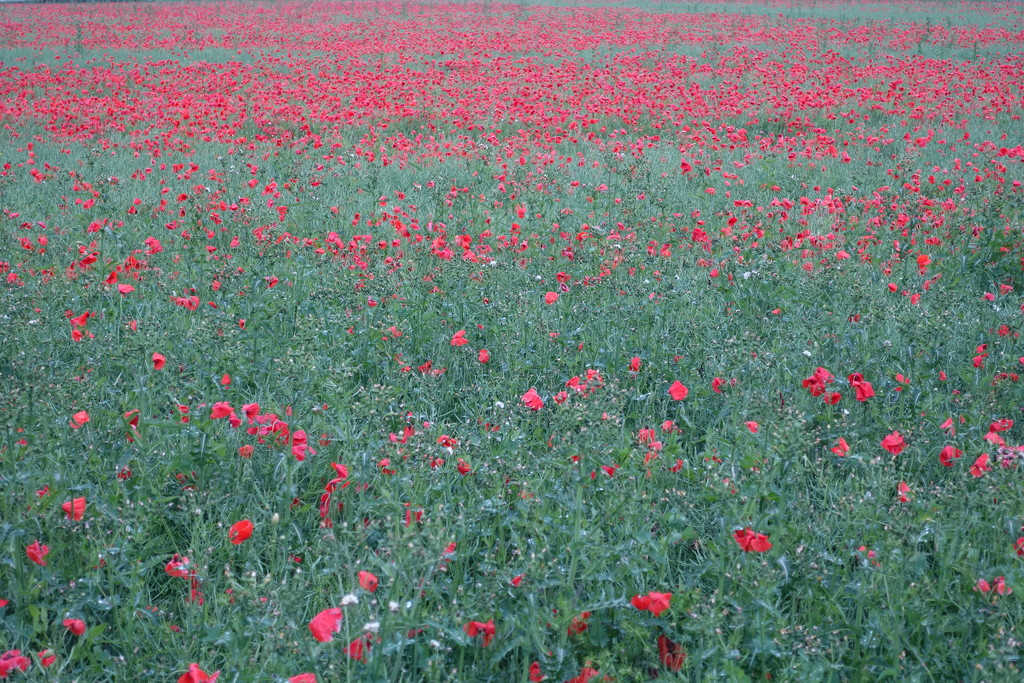 Field of red and green by johnsutton