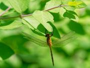 7th Jun 2018 - brown dragonfly