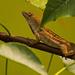 Lizard Being Coy! by rickster549