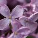 Raindrops on lilacs