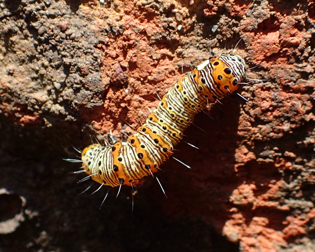 Eight-Spotted Forester Moth Caterpillar by cjwhite