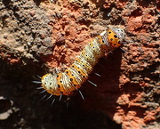 8th Jun 2018 - Eight-Spotted Forester Moth Caterpillar