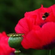 8th Jun 2018 - Pollenating Poppies