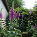 more foxgloves by gijsje