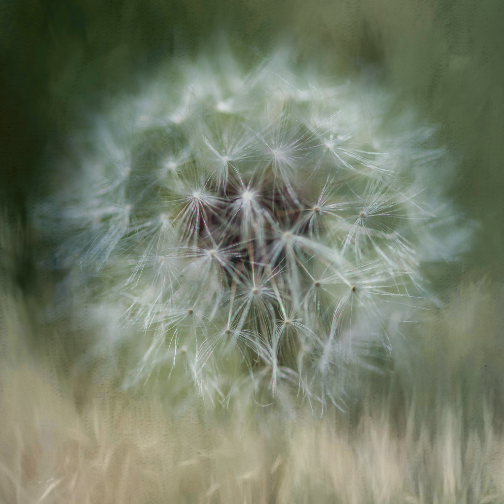 Dandelion Season (and Mosquitoes) by taffy