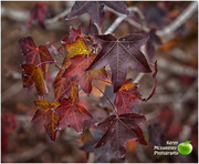 9th Jun 2018 - its Autumn leaves in Winter