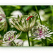Astrantia And Cardinal Beetle by carolmw