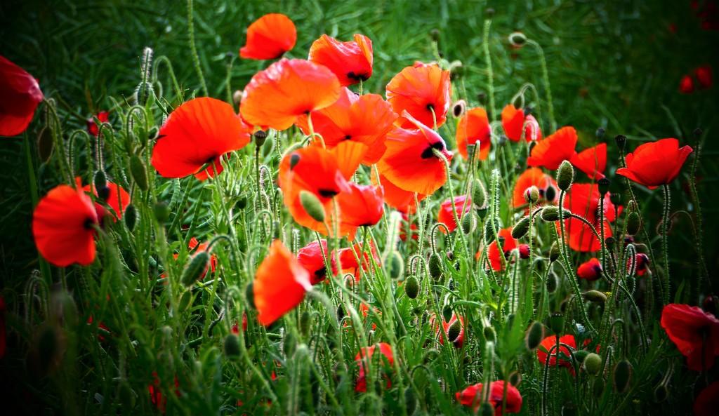 Poppy Patch! by carole_sandford