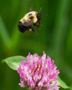 9th Jun 2018 - Bee on clover
