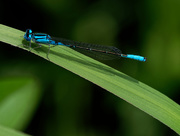 9th Jun 2018 - Blue damselfly