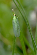 9th Jun 2018 - Common Green Lacewing!