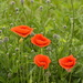 Four Poppies by redandwhite