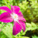 Mystery Clematis
