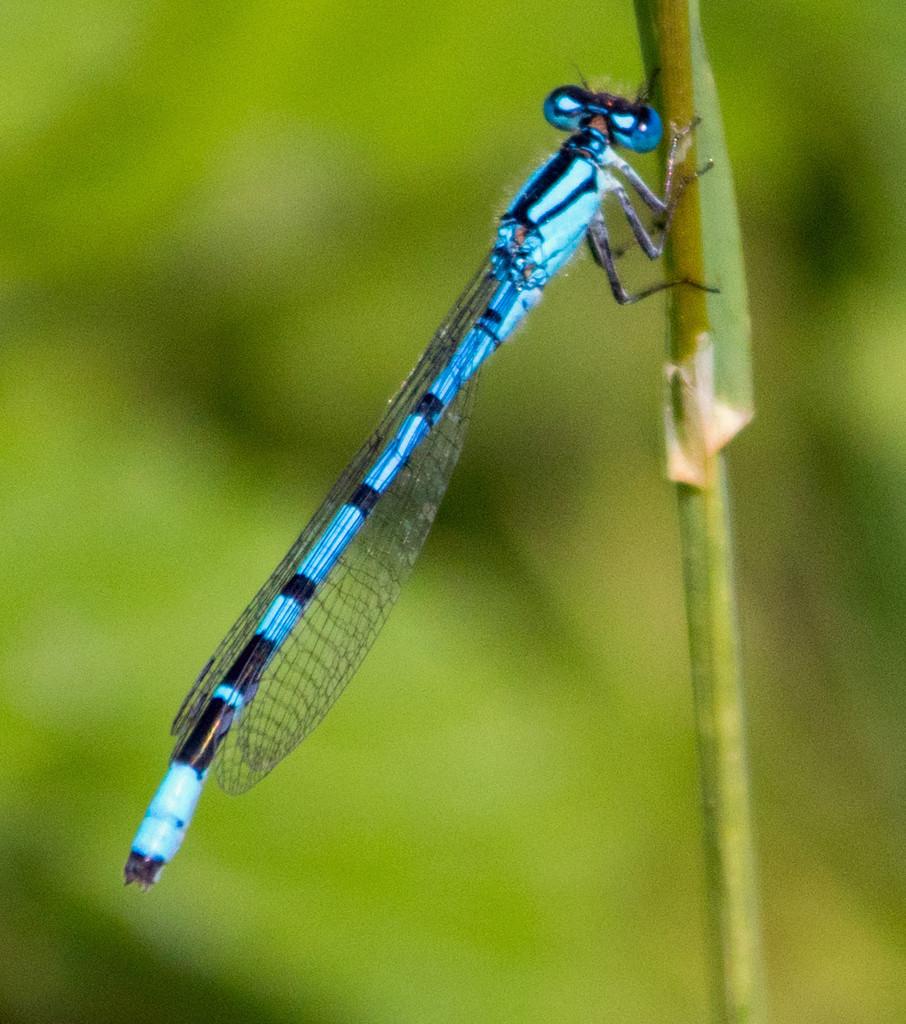 Blue Damsel Fly by mave