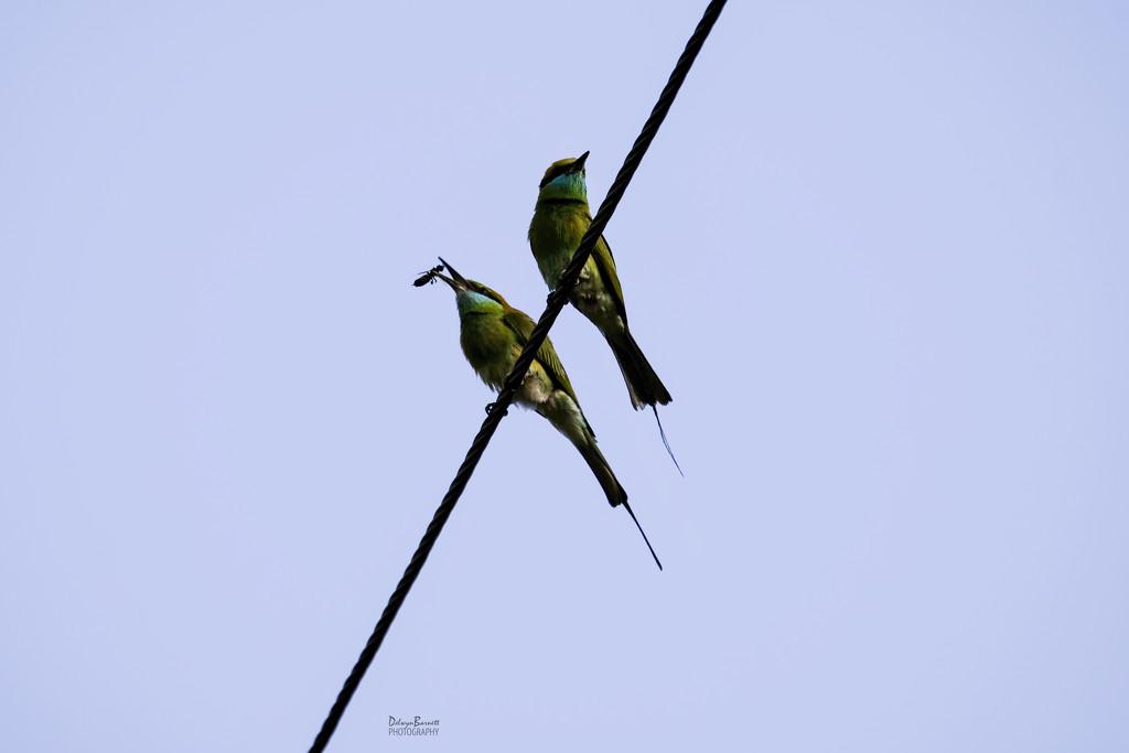 Green Bee Eater by dkbarnett
