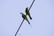 7th May 2018 - Green Bee Eater