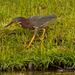 Green Heron Searching!