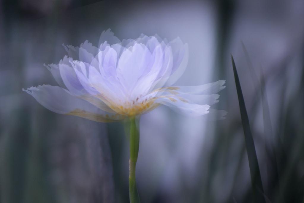 Dancing flower by jeneurell