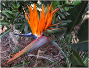 11th Jun 2018 - Bird of paradise flower (Strelitziaceae)