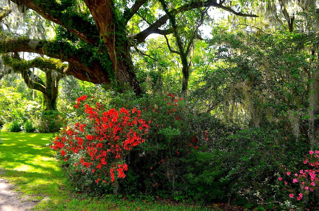Live oaks and azaleas by congaree