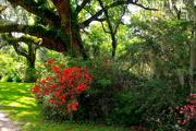 11th Jun 2018 - Live oaks and azaleas