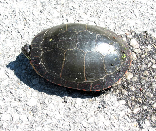 Turtle by bruni