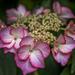 Lacecap Hydrangea. by tonygig