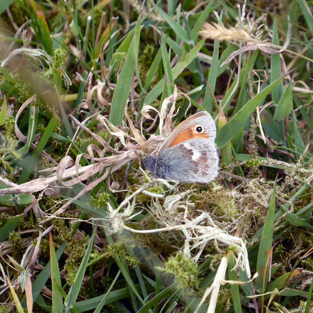 Small Heath Butterfly by cmp