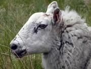 9th Jun 2018 - Mother Sheep