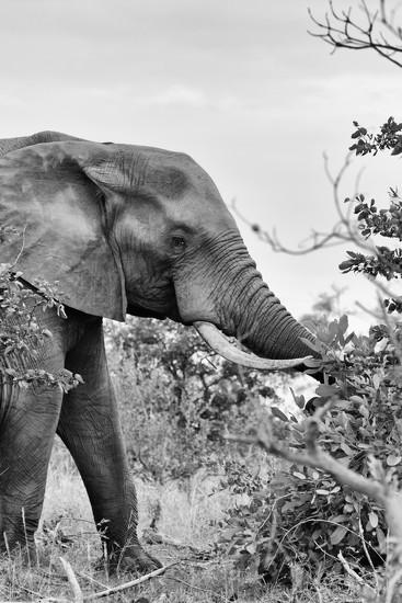 B&W Elephant by leonbuys83