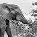 B&W Elephant